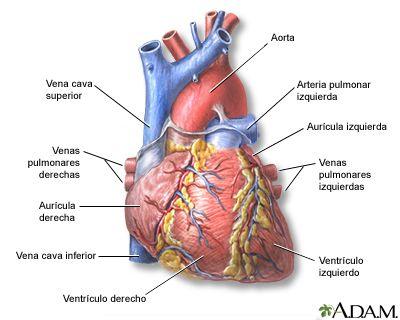 Vista anterior del corazón