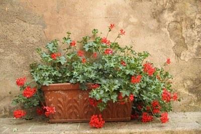 rode geranium in terracotta pot voor antieke muur, Tuscany Stockfoto