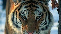 уссурийский тигр - YouTube