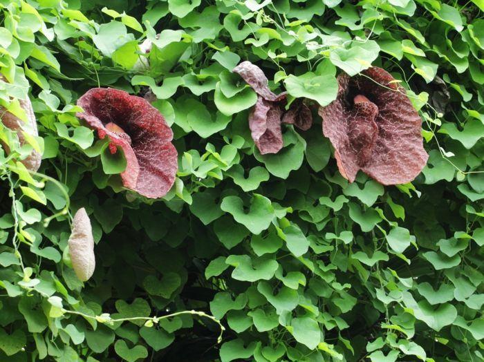 Aristoloche feuilles vertes et à fleurs tubulaires et rouges