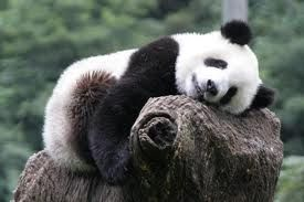 Pandas, they're just so dang cute!