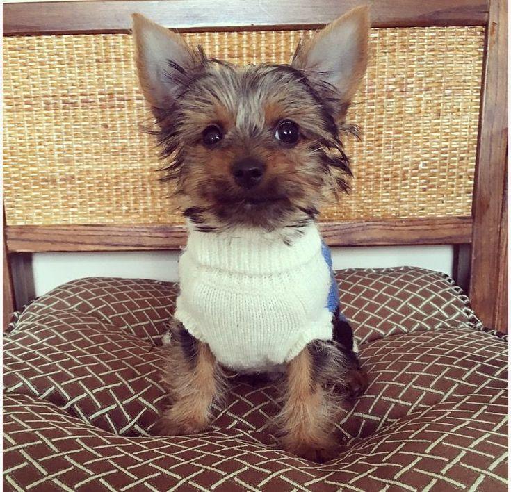 Yorkshire Terrier puppy for sale in LOS ANGELES, CA. ADN-26271 on PuppyFinder.com Gender: Male. Age: 14 Weeks Old