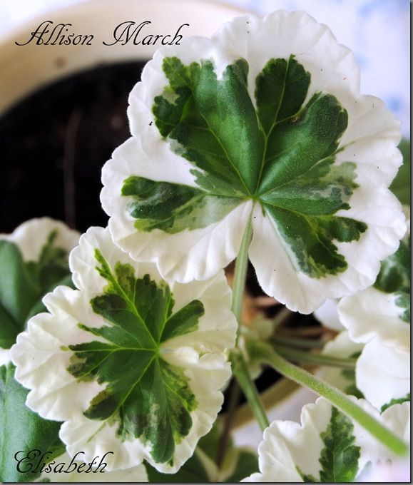 Pelargonium Geranium Allison March More