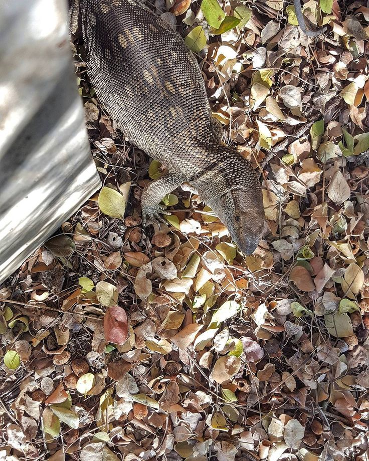 #Peekabo! #Rock #Monitor #Lizard on the #hunt, just outsidenmy office. Slowly, quietly stalking through dried leaf litter from our #deciduous #combretum #trees. A highly adapted #reptilian #predator, who can climb trees and raid #bird nests, through to fearlessly taling on #poisonous #snakes, like #cobras and #adders. Their #nemesis is the most powerful Eagle in #Africa, the #Martial #Eagle. #biodiversity #KrugerNationalPark #conservation #reptile #herpetology #ReptileMAP…