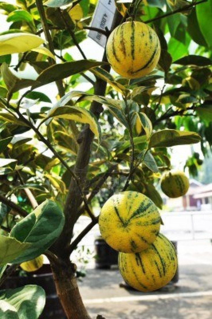 Yellow Zebra Orange Fruit Tree