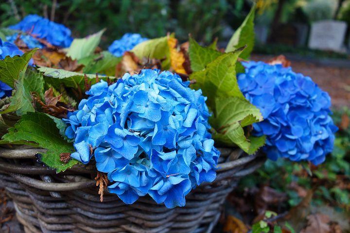 Hortensia, Hortênsia, Flor, Planta