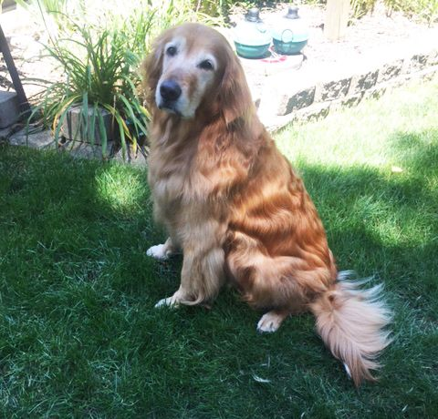 Pend adopt. This is Jackson - 7 yrs. He was adopted but returned after his owner had a heart attack. He is neutered, current on vaccinations, potty trained,  has good house manners, good with female dogs. GRR Resource, OH. - http://www.gr-rescue.org/golden_retrievers_for_adoption_9.html