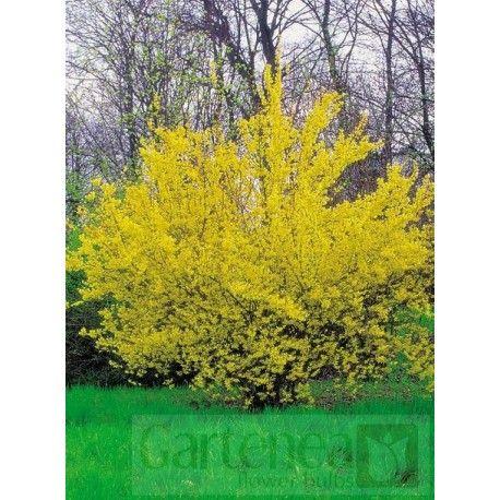 Forsycja pośrednia (Forsythia intermedia)