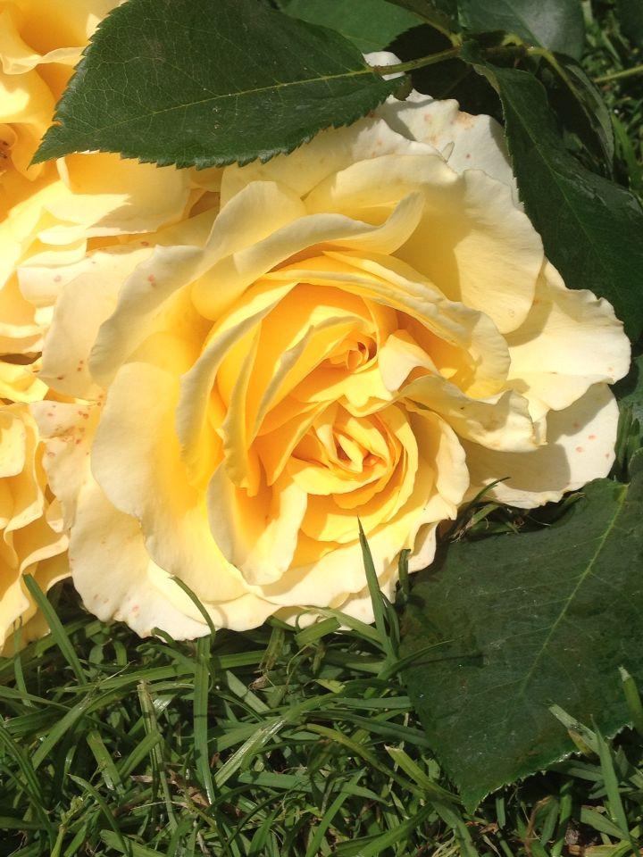 Yellow rosę from my garden