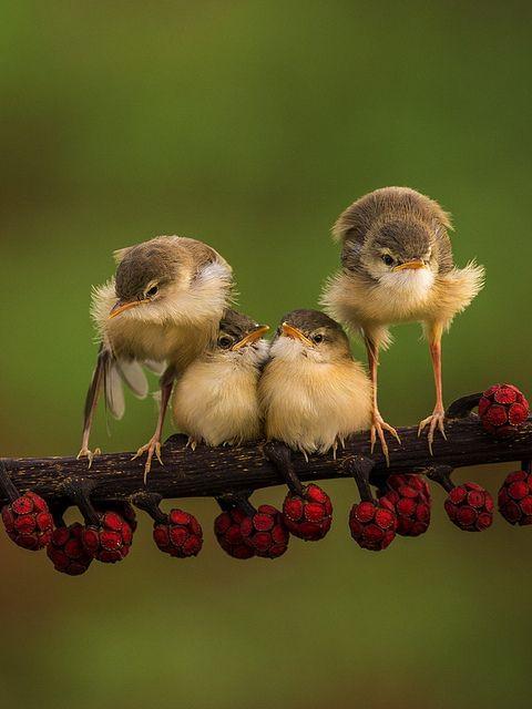 Bar-winged Prinia Birds ~ Photo by Sijanto on flickr