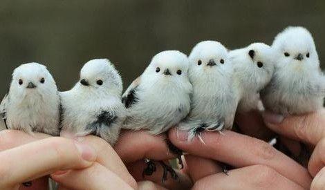 可愛すぎる!雪の妖精と呼ばれる鳥「シマエナガ」