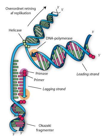 Replikation af de to modsatrettede DNA-strenge, som resulterer i en kopiering af DNA'et. De nye DNA-strenge (rødlig) startes fra primerne (røde kugler) og syntetiseres af DNA-polymerase i retningen 5' til 3'.