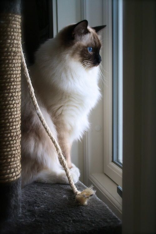 Life expectancy in Ragdoll Cats ~  The lifespan of Ragdoll cats is very similar to most of other cat breeds. Ragdolls are such amazing creatures that falling in love w/  them is inevitable. They're beautiful, affectionate, naughty & loving. A healthy Ragdoll cat normally has a lifespan of 10-16 years.
