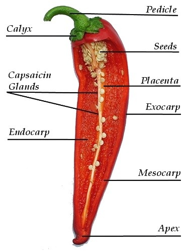 54 Best Chile Peppers Images On Pinterest Chilis Chili