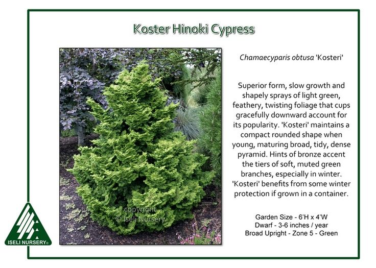 Chamaecyparis obtusa Kosteri · Cypress TreesJapanese GardensContainer PlantsPotted Plants