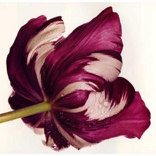 澳门威尼斯赌场囹�a_byIrvinPenn|Fotografiadeflores,Flores,Floresexóticas