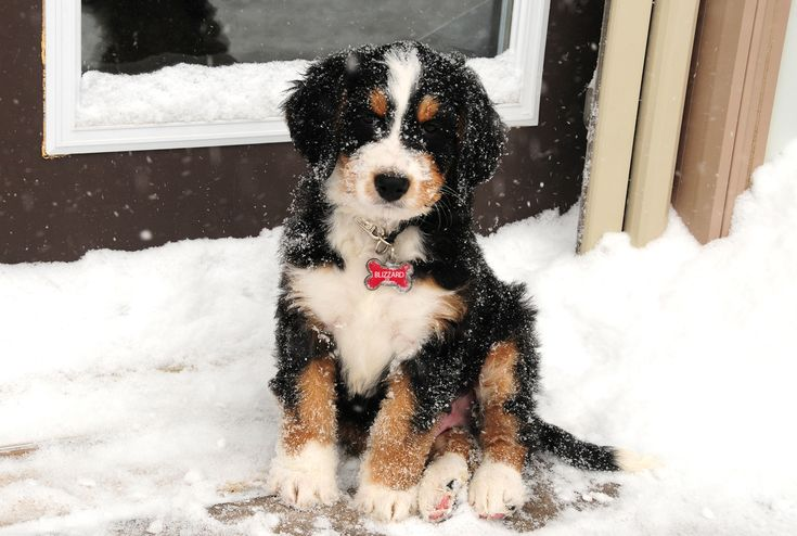 Blizzard is a standard tri-colour bernedoodle from SwissRidge Kennels. He is the calmest, sweetest puppy you will ever meet! Good thing he loves the snow too!