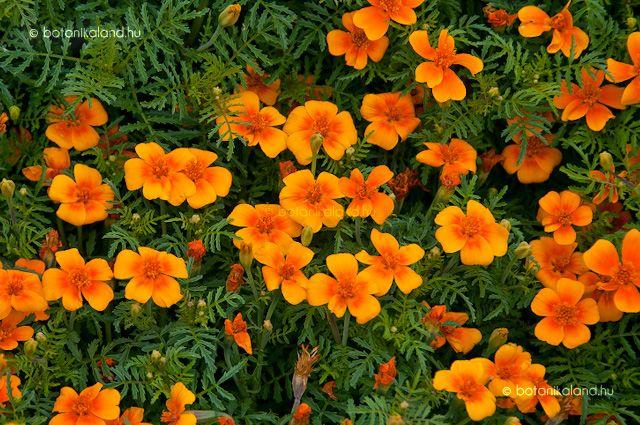 Az amerikai kontinensről származó bársonyvirág, vagy másképpen büdöske vitathatatlanul az egyik legismertebb egynyári, melyet szívós természete miatt előszeretettel használnak parkok ágyásaiban és kőedényeiben is.