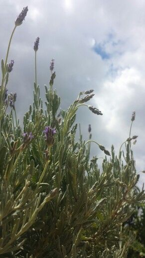 Lavender!!!