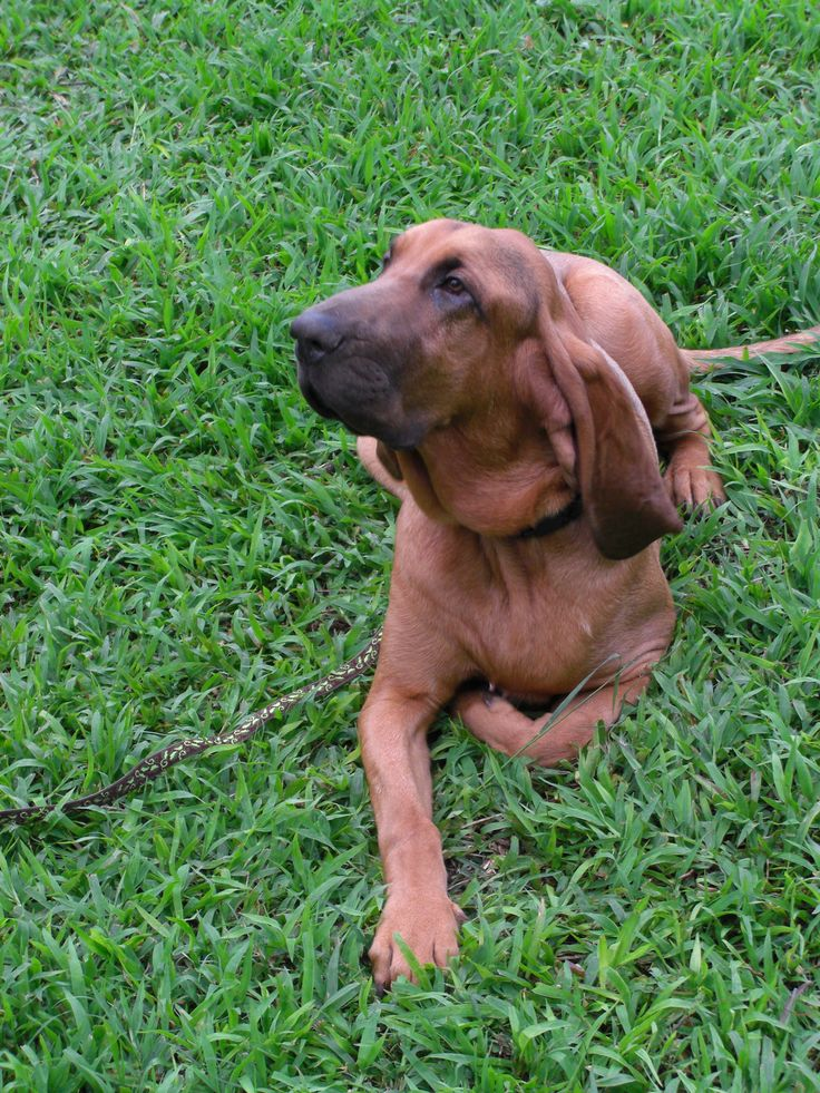 Jasper The Bloodhound Puppy Learned To Be Obent Patient And Mannered At Doggie Boot Camp View Further For This Article Visit Image Link