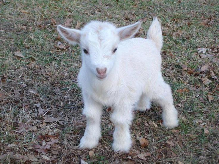 Baby White Pygmy Goat Baby Goats And Lambs Pinterest