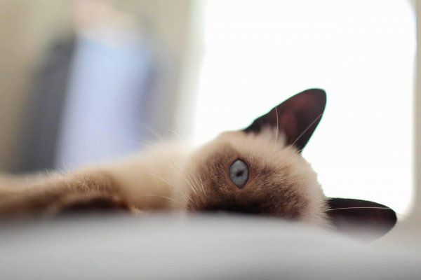 226 Siamese Cat Names Only For Royalty Felines Cat Care