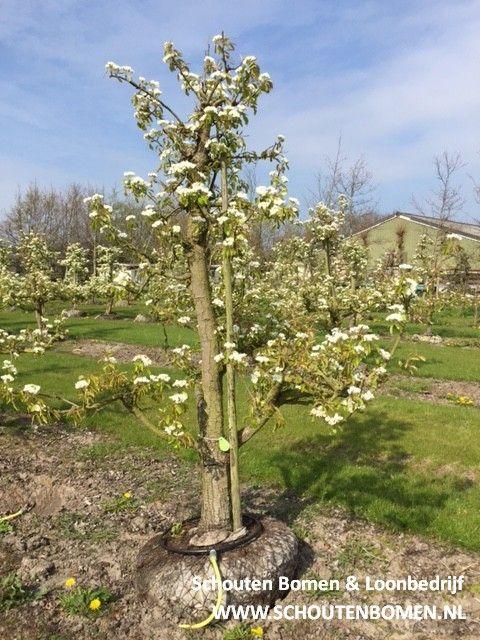 Voor karakteristieke oude fruitbomen, notenbomen en laan- en sierbomen bent u bij ons aan het goede adres! We hebben oa prachtige oude perenbomen beschikbaar! Dit is een laagstam Conference perenboom van ca. 30 jaar oud uit ons assortiment.