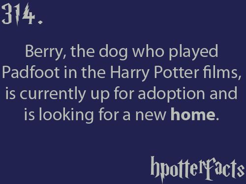 Harry Potter Facts #314:    Berry, the dog who played Padfoot in the Harry Potter films, is currently up for adoption and is looking for a new home. (don't care.)