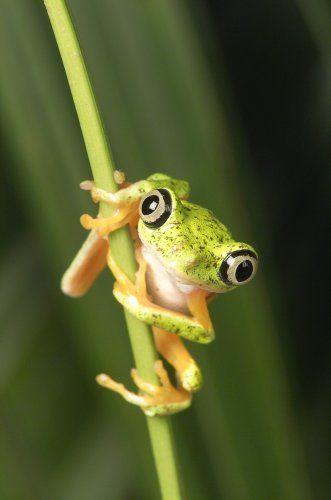 V Frog Kpm 30 best images ...