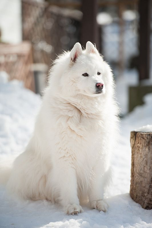 Samoyeds have beautiful features!