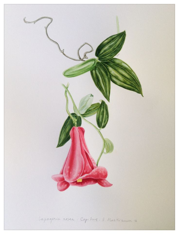Lapageria rosea - copihue. My fourth illustration of our national flower. Chile has magnifiscent plants! Geraldine MacKinnon 2013