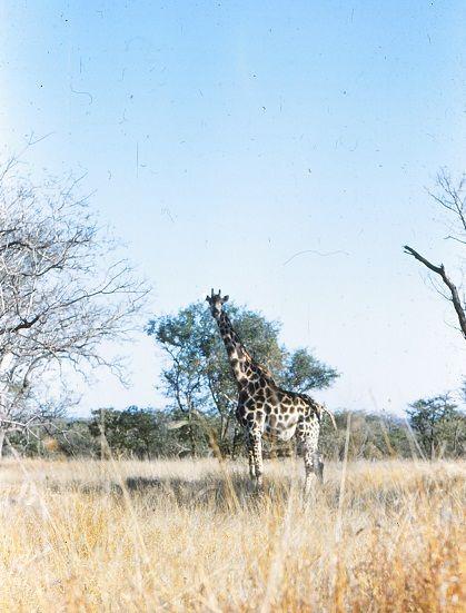 Ciraffe, majestetic animal. Kruger park. 1950's. Picture Osmo Vartiainen.