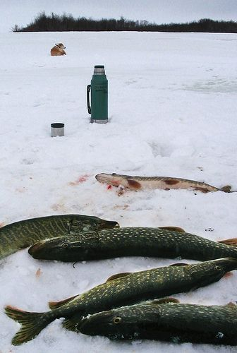 Ice fishing for pike on the Kuskokwim River, Alaska by TVJ, via Flickr   Yum!  LOVE pike.