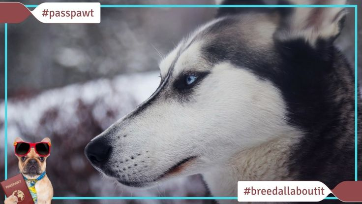 Breed All About It  Dog Breeds starting With S  Siberian Husky  06/05/2017  Siberian Husky  Narrator: A group of Siberian Huskies saved Nome Alaska.  Dr. Karen: Thats quite an accomplishment for a dog.  Narrator: Thats right. In 1925 a killer diphtheria outbreak crippled the town. Teams of Siberian Huskies mashed through a blinding blizzard to deliver life-saving serum. The league dog Balto is even memorialized with a statue in New Yorks Central Park.  Huskies are the strong silent type but…