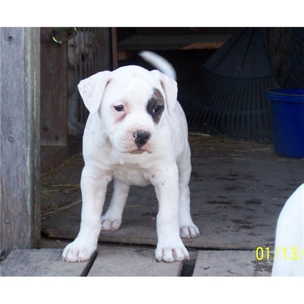 American Bull Dog like mine <3
