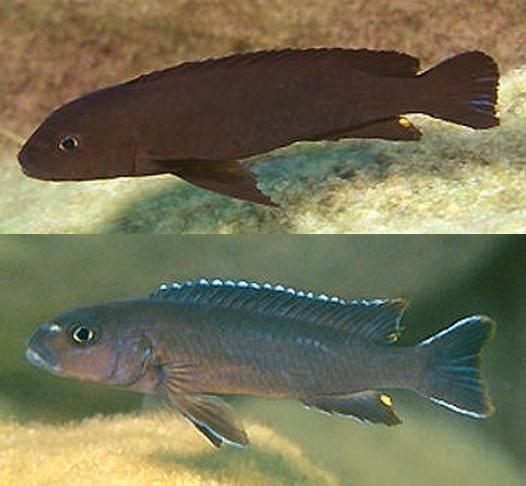 115 Bedste ferskvandsfisk billeder på Pinterest fisk-1454
