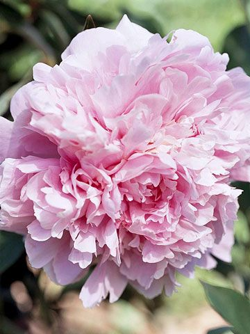 tips on perfect Peonies
