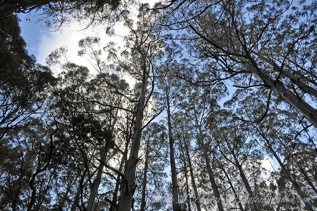 I love how tall and straight the mountain ash trees are in the ranges.