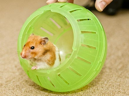 TRUE STORY: It's Alive! 'Dead' Hamster Crawls Out of Its Grave. More details: http://www.peoplepets.com/people/pets/article/0,,20586822,00.html: Pet Rodents, 4 Years Old Pet, Amazing Animals