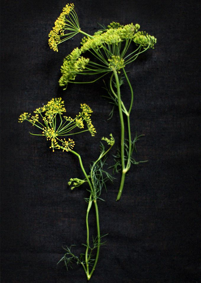 urban forage: fennel flowers. lovely added to sugar cookies