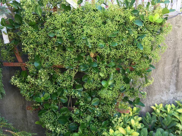 Manhattan Euonymus On A Trellis To Create An Evergreen