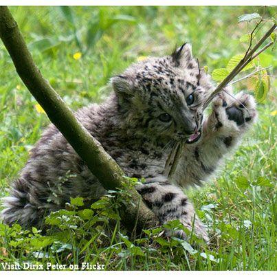 Nom nom! Snow leopard cub chewing on a branch.