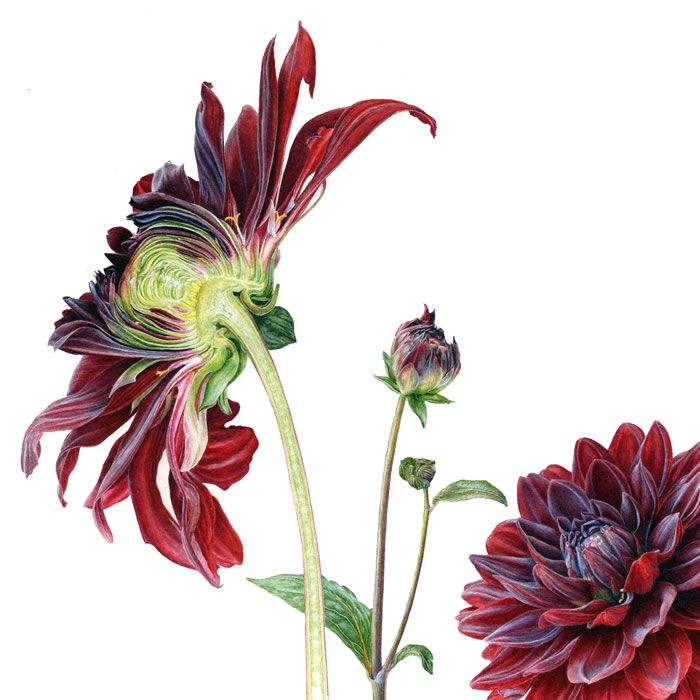 Dahlia Folio illustration agency, London, UK | Carolyn Jenkins - Watercolour ∙ Painterly ∙ Botanical ∙ Horticultural ∙ Photorealism - Illustrator