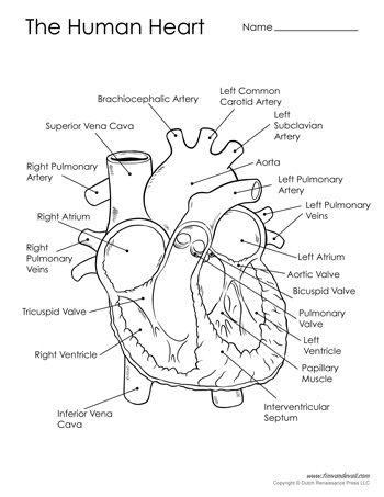 Human Heart Diagram - Black & White | Human heart diagram ...