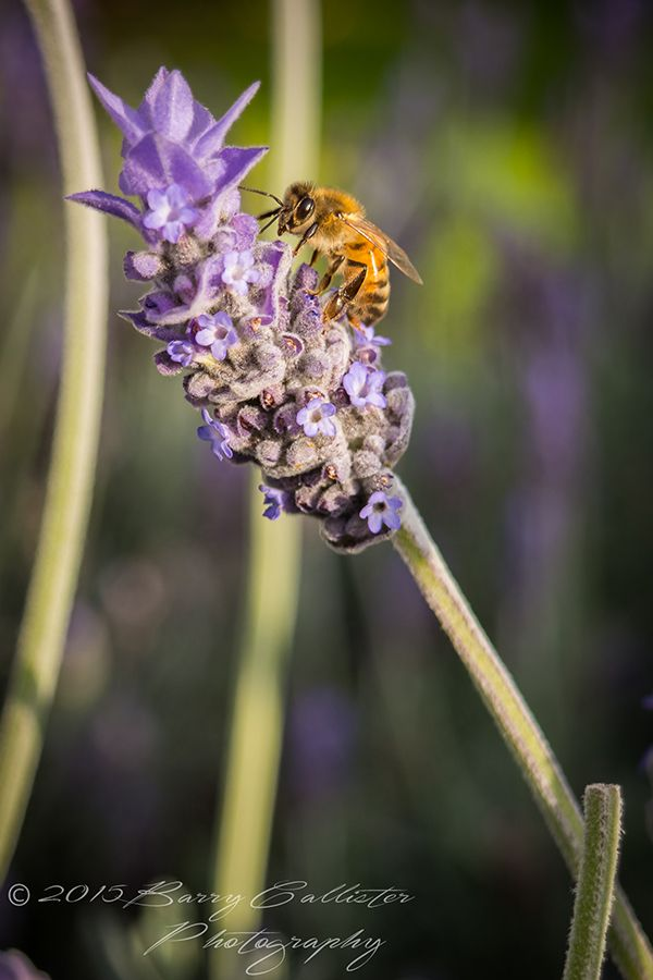 This Bee on Lavendar shot was taken at Flinders on the Mornington Peninsula.