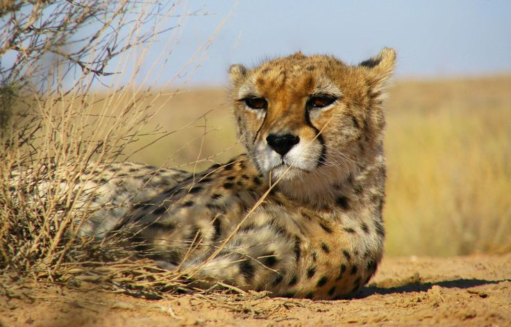 Asiatic cheetah or Iranian cheetah, is a critically endangered cheetah subspecies surviving today only in Iran. It used to occur in India as well, where it is locally extinct.