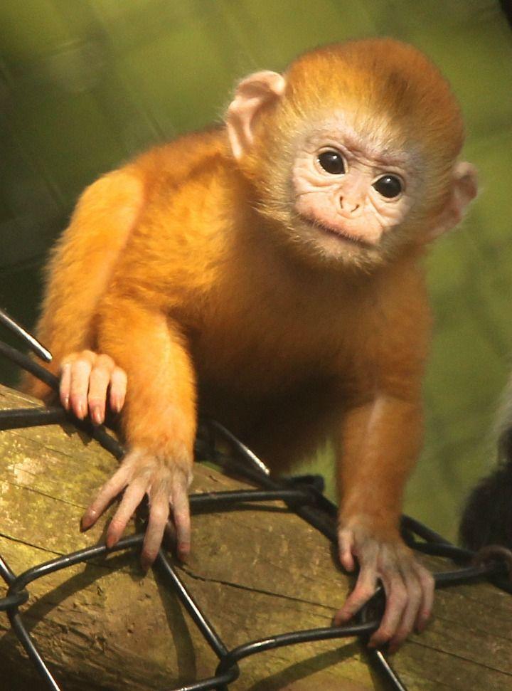 That baby's bright! Javan Langur born at Howletts Wild Animal Park.