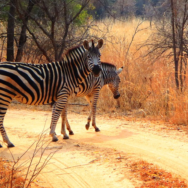 I never truly appreciated just how beautiful a wild African Zebra was, until I sat in the red clay alone in wonder. #Zebra #Africa #Zimbabwe #wildlife #travel #earthing #v_unleashed www.virginiastone.com