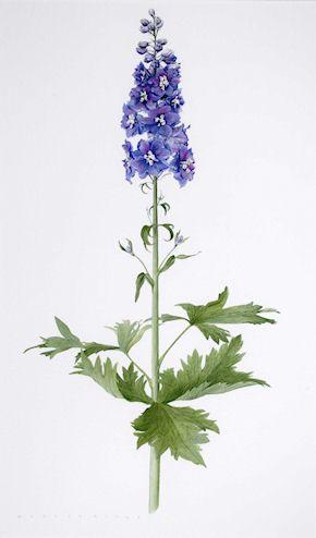Delphinium watercolour by Evelyn Binns