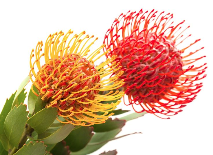 Pincushion Protea. COLORS red, yellow SEASON August to